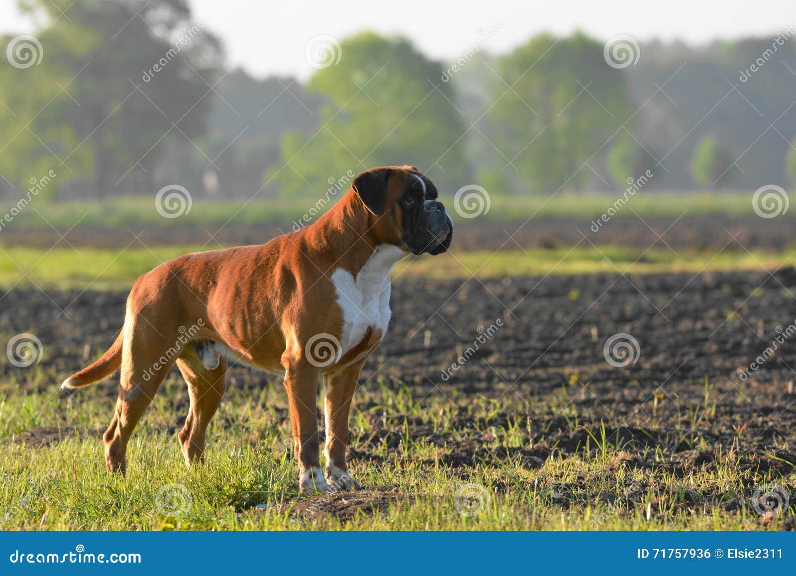 σκυλί μπόξερ