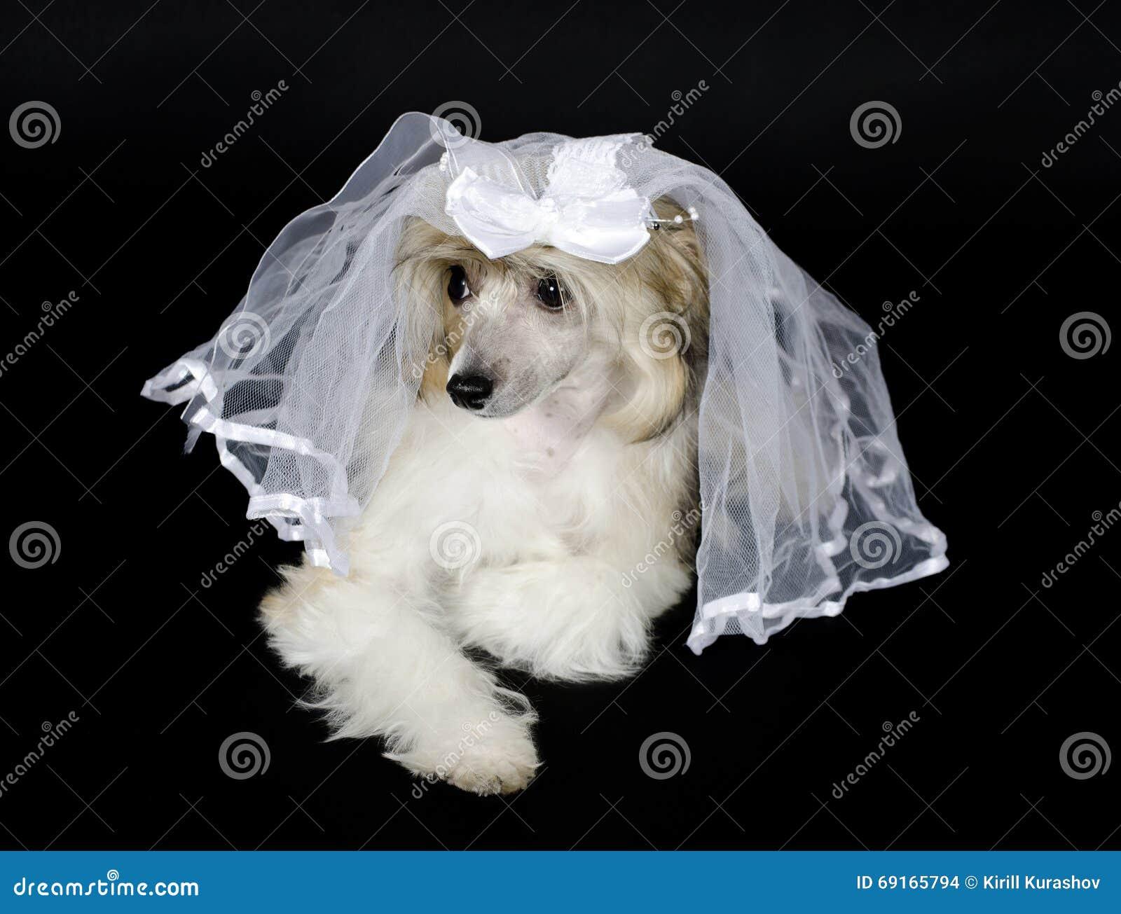 Σκυλί που φορά ένα νυφικό πέπλο