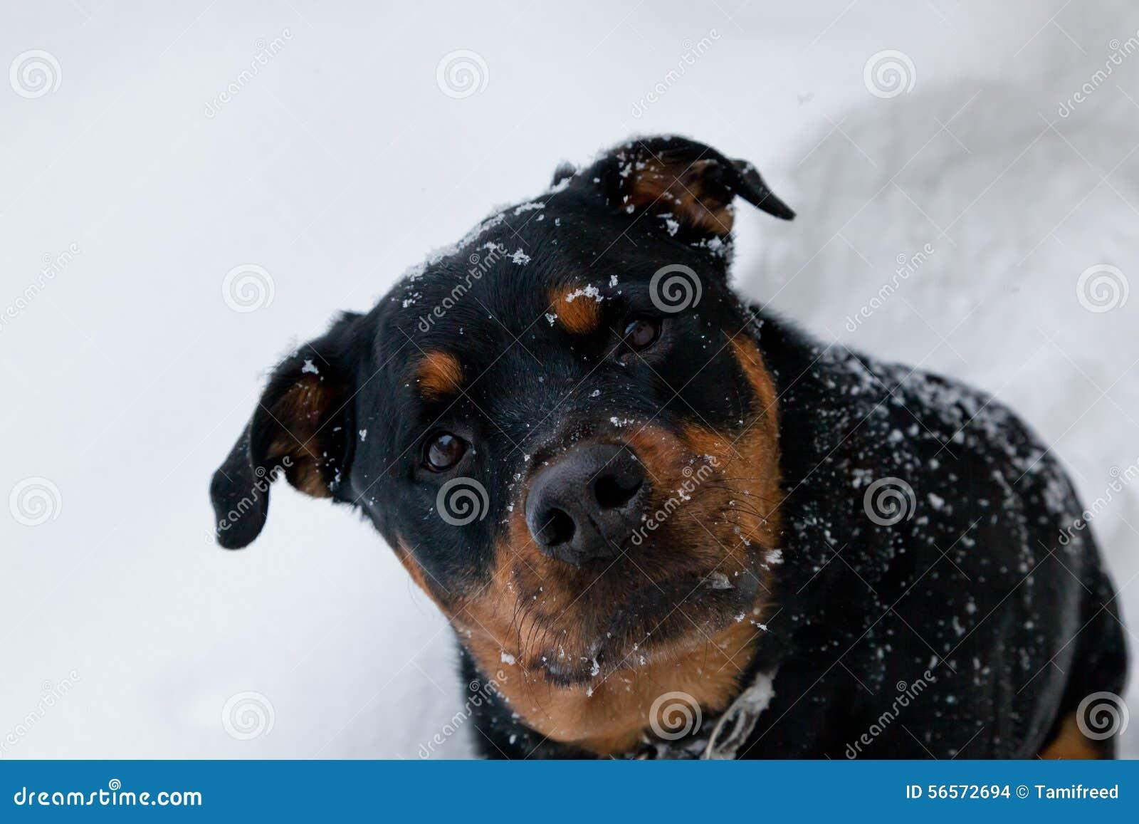 Download Σκυλί στο χιόνι στοκ εικόνες. εικόνα από κοιτάξτε, χαριτωμένος - 56572694