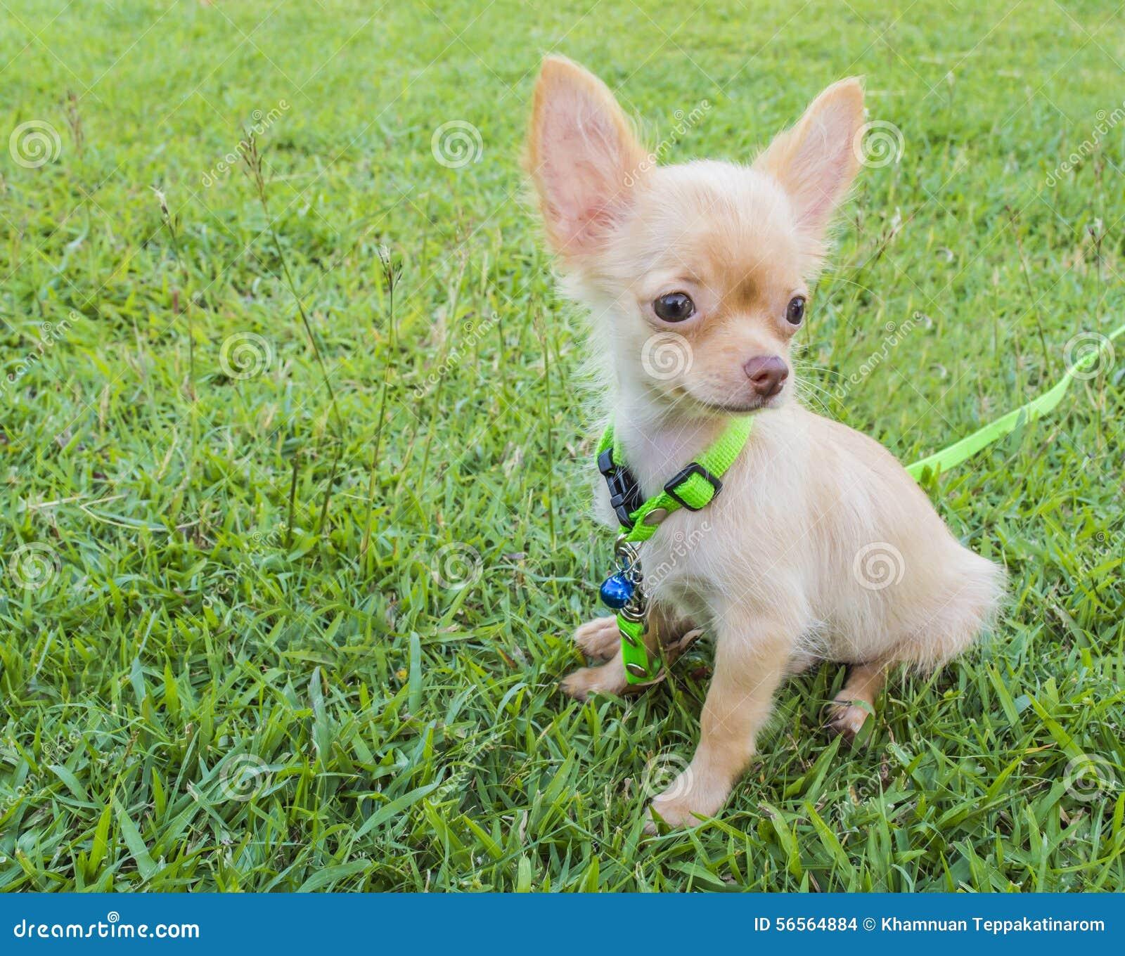 Download Σκυλί Chihuahua στοκ εικόνες. εικόνα από στάση, κόκκινος - 56564884