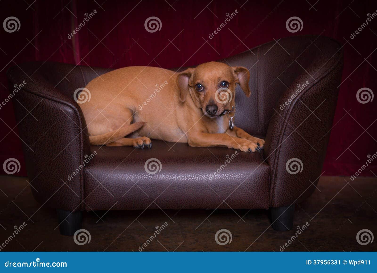 Σκυλί Chiweenie