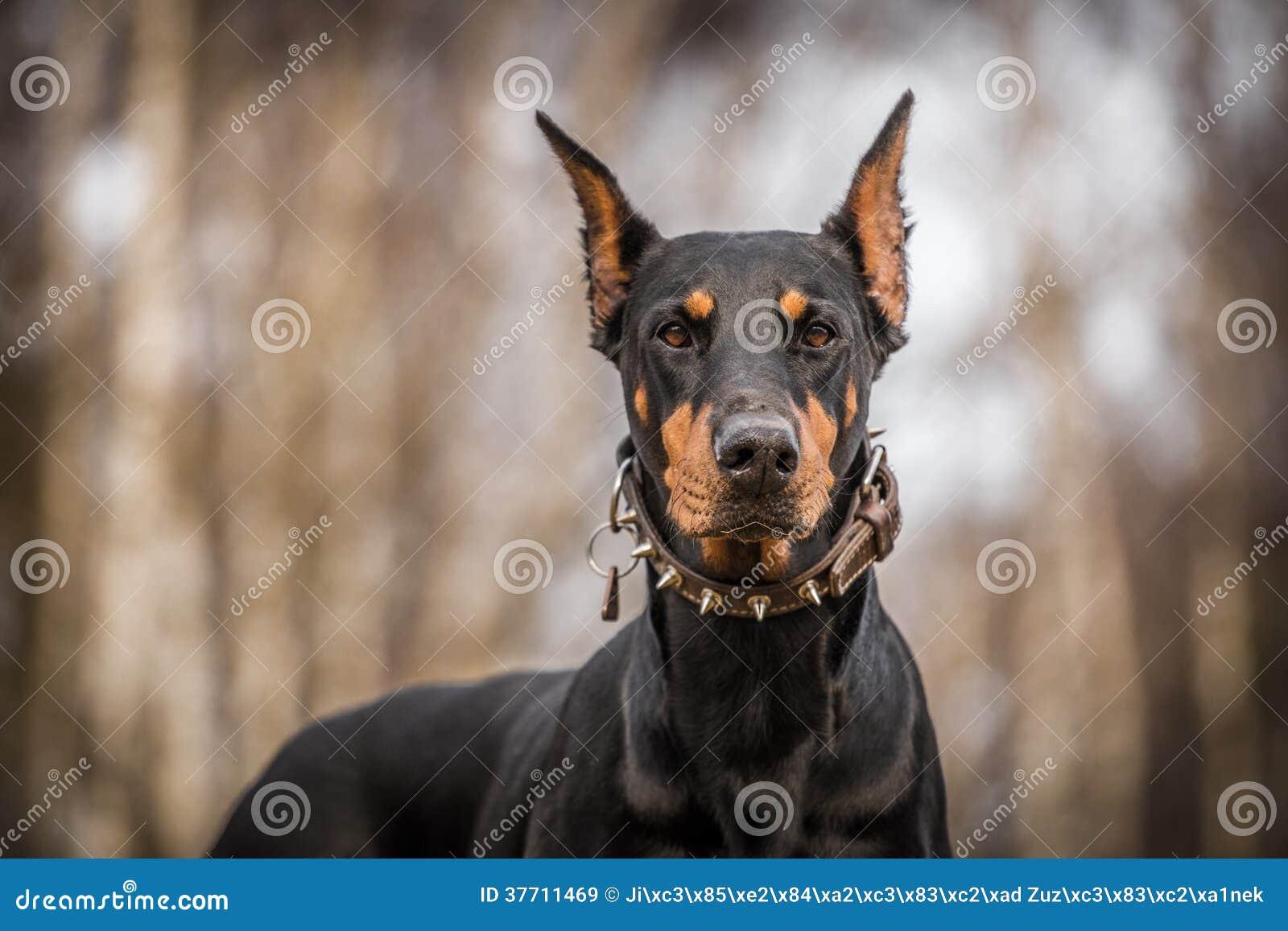 Σκυλί Doberman