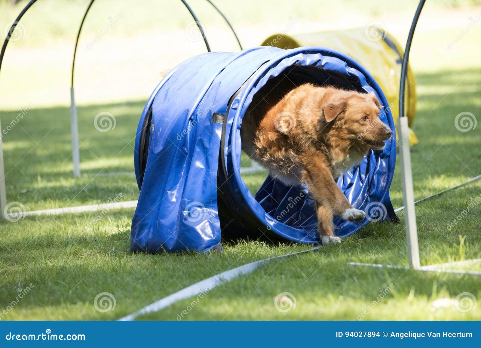 Σκυλί, retriever διοδίων παπιών της Νέας Σκοτίας, που τρέχει μέσω της ευκινησίας