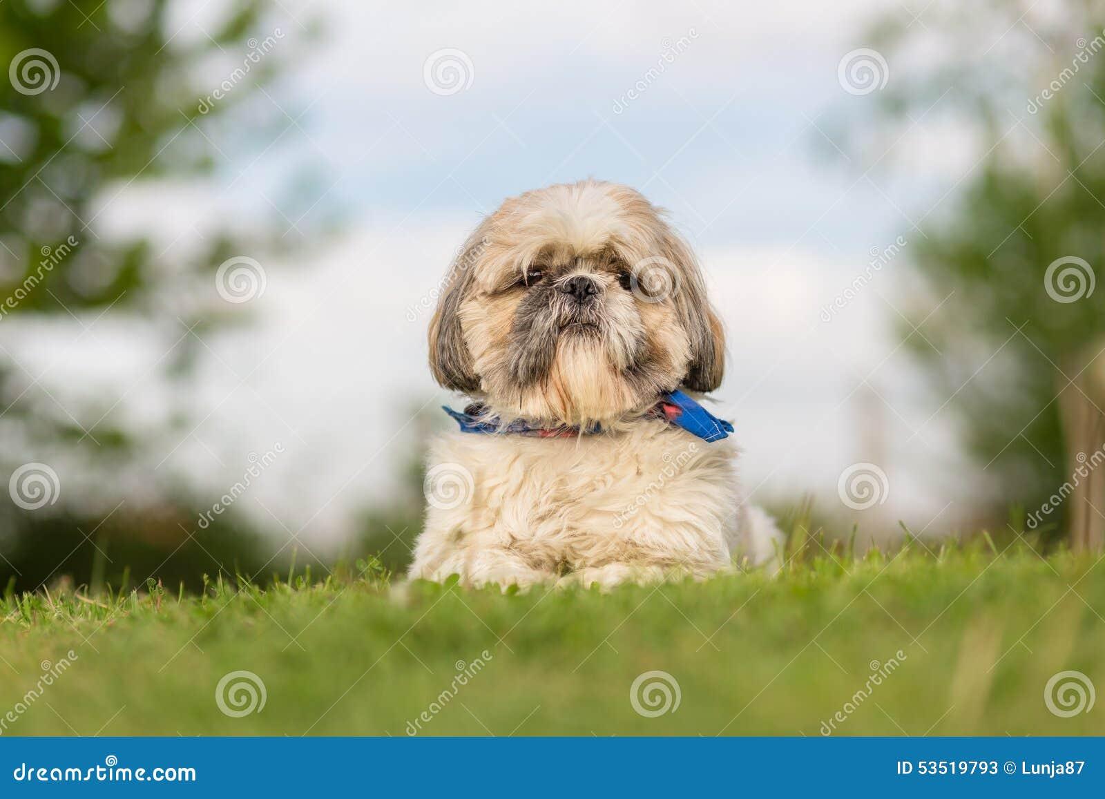 Σκυλί Tzu Shih στον κήπο