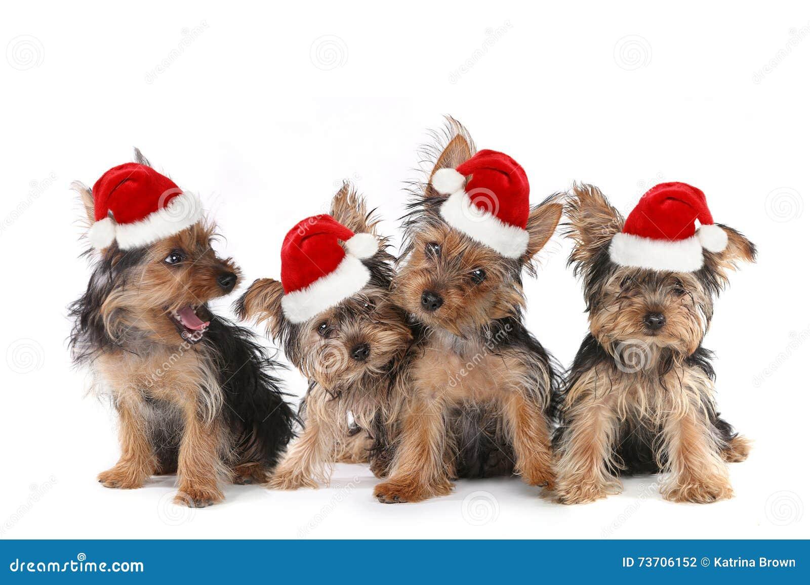 Σκυλιά κουταβιών με τη χαριτωμένη έκφραση και το καπέλο Santa
