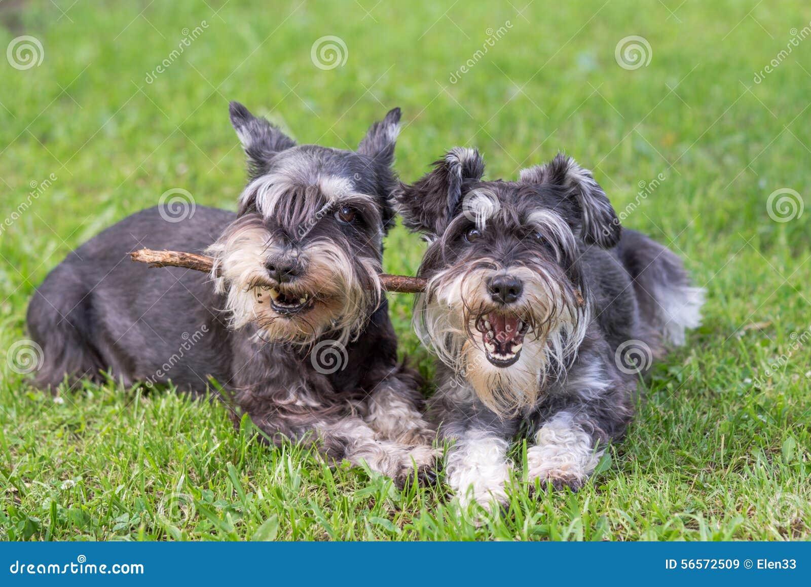 Download σκυλιά στοκ εικόνα. εικόνα από ενέργεια, διασκέδαση, χαρά - 56572509