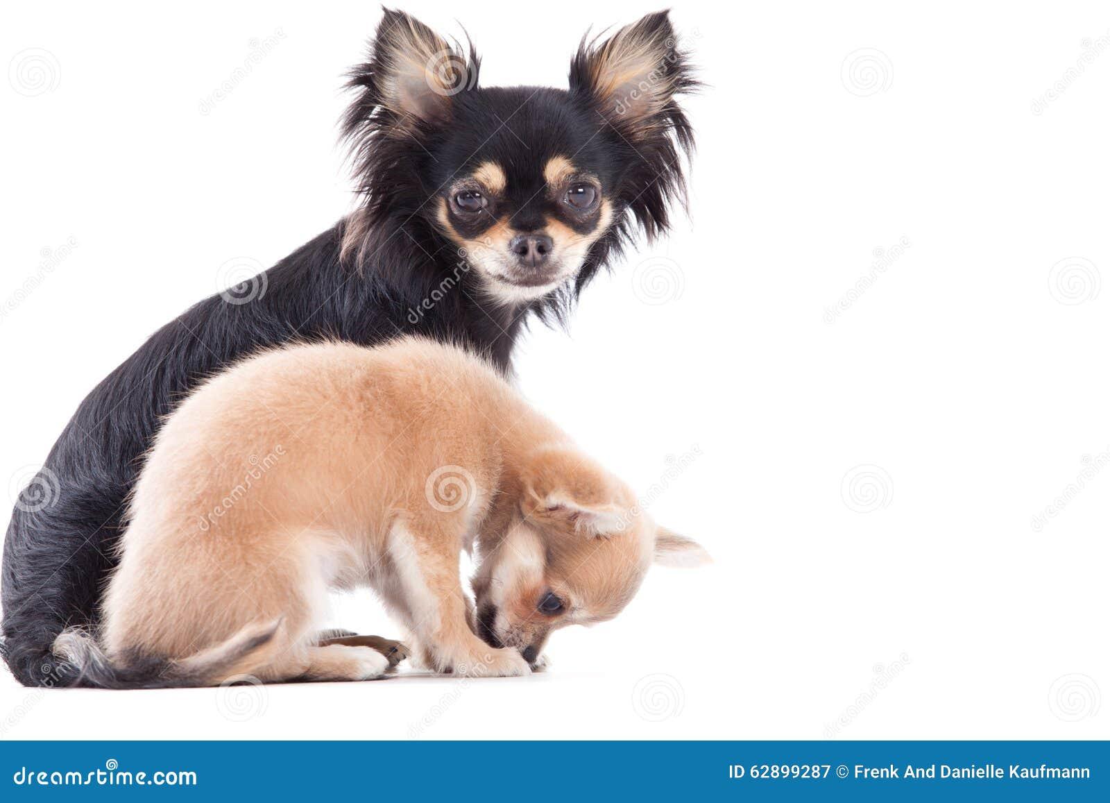 Σκυλιά chihuahua Weet