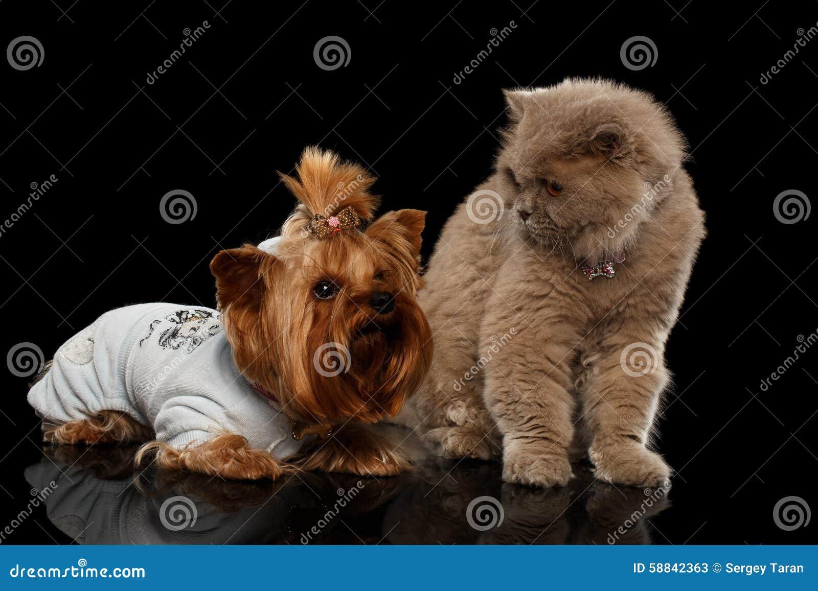 Σκωτσέζικα γάτα και σκυλί τεριέ του Γιορκσάιρ που απομονώνονται
