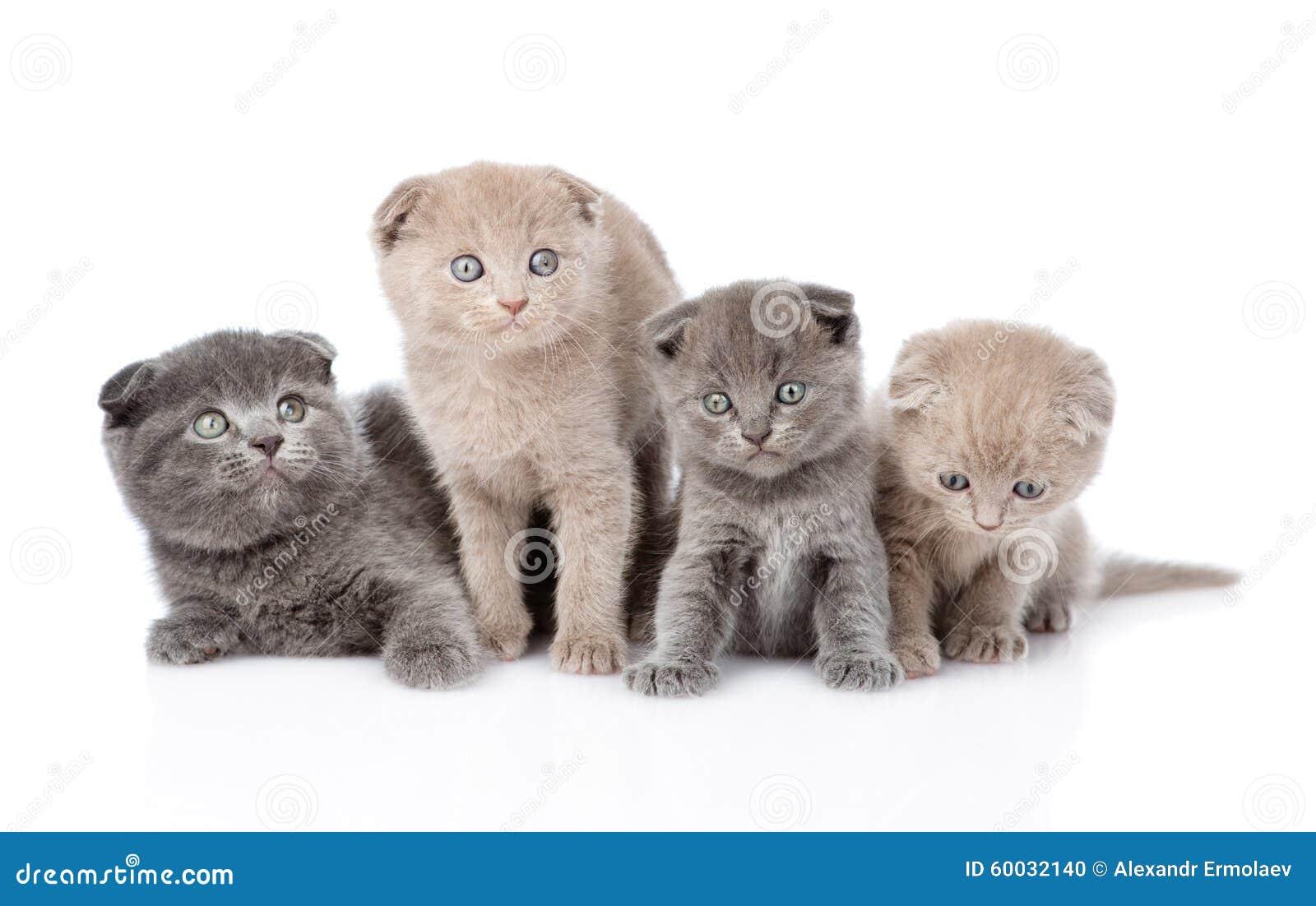 Σκωτσέζικα γατάκια μωρών ομάδας η ανασκόπηση απομόνωσε το λευκό