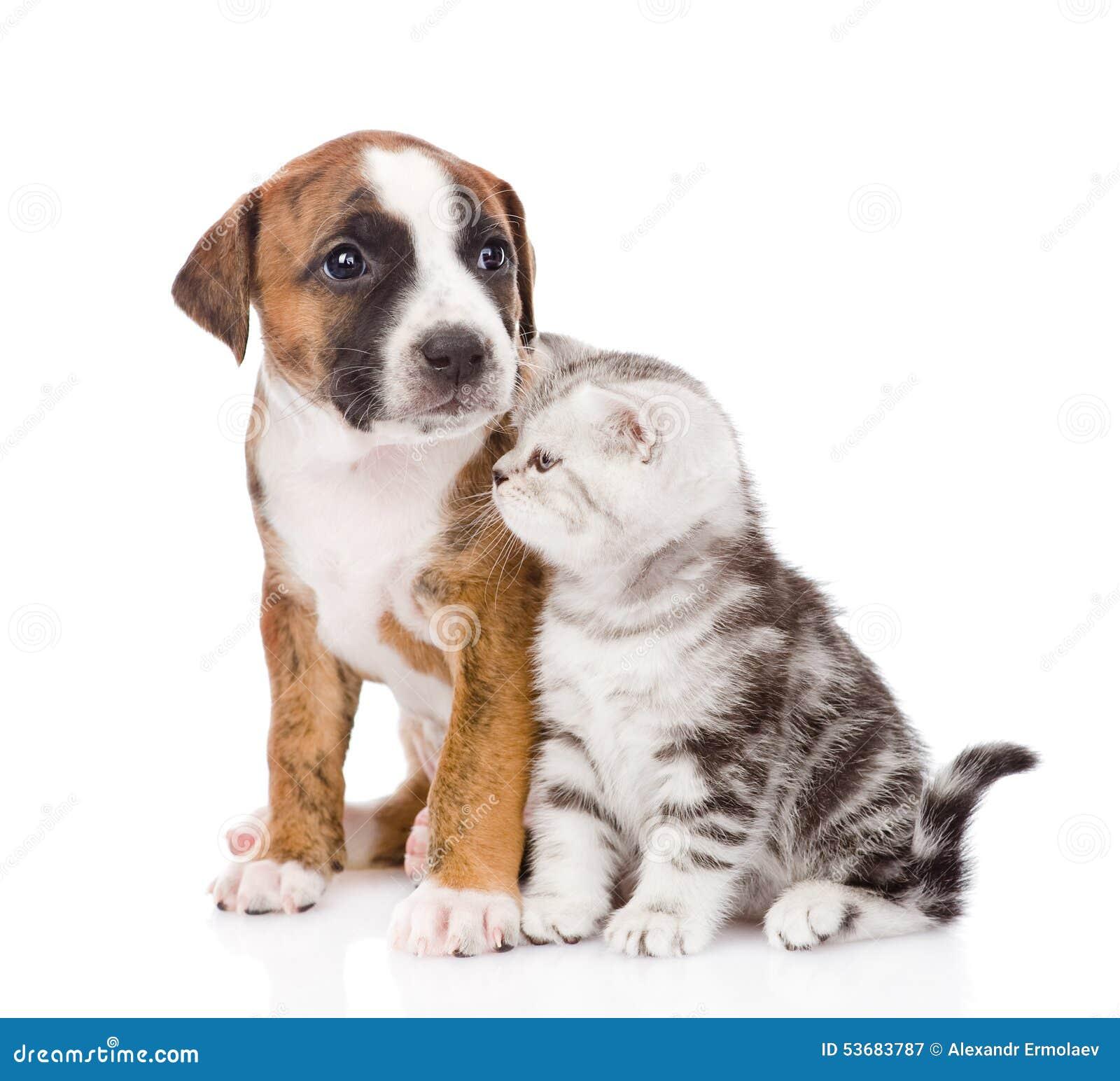 Σκωτσέζικα γατάκι και κουτάβι που κοιτάζουν μακριά Απομονωμένος στο άσπρο backgr