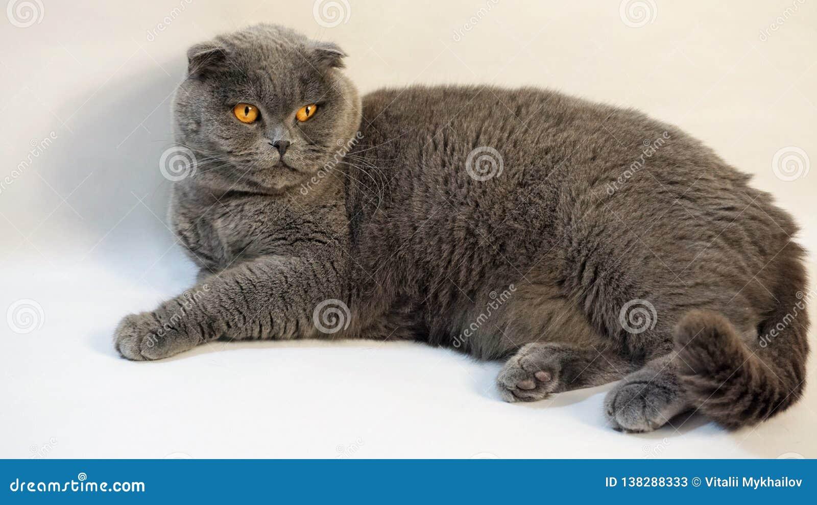 Σκωτσέζικη γάτα πτυχών που βρίσκεται στο πάτωμα σε ένα άσπρο υπόβαθρο 2