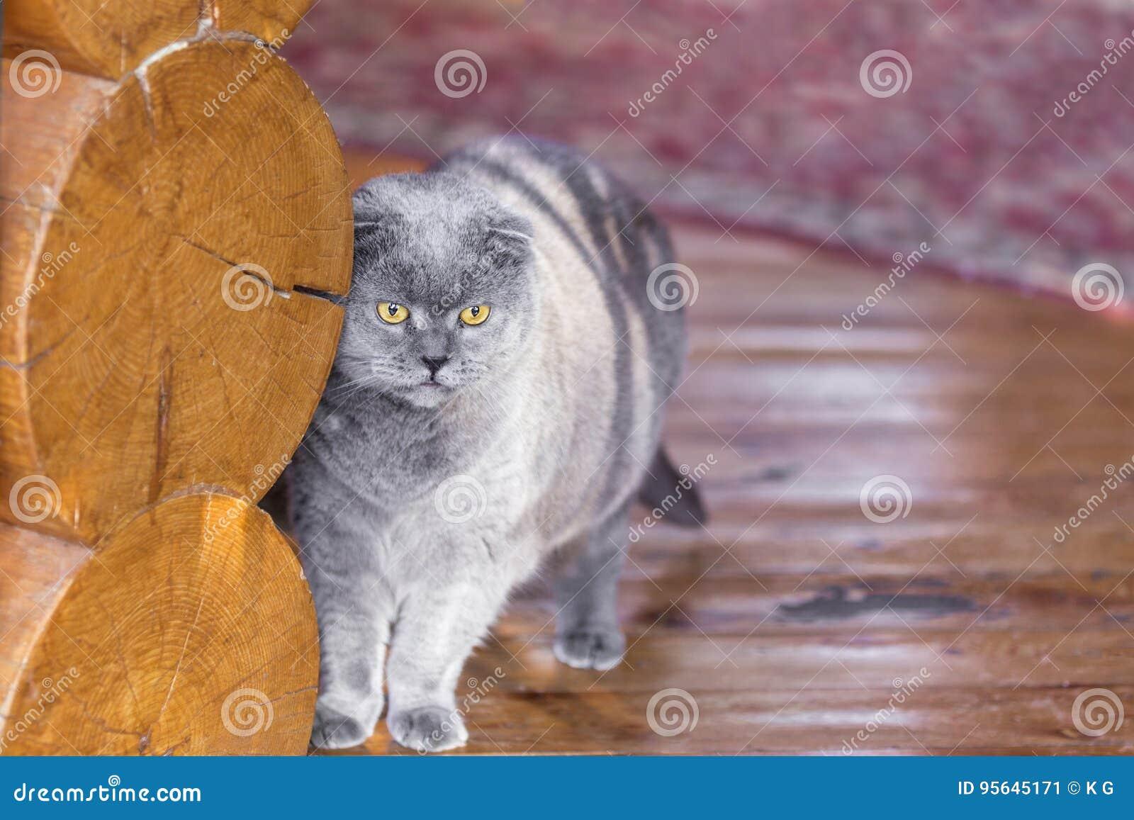 Σοβαρή και σκεπτική μπλε σκωτσέζικη γάτα πτυχών που στέκεται κοντά στον τοίχο κούτσουρων σε ένα μέρος ενός σπιτιού και που κοιτάζ