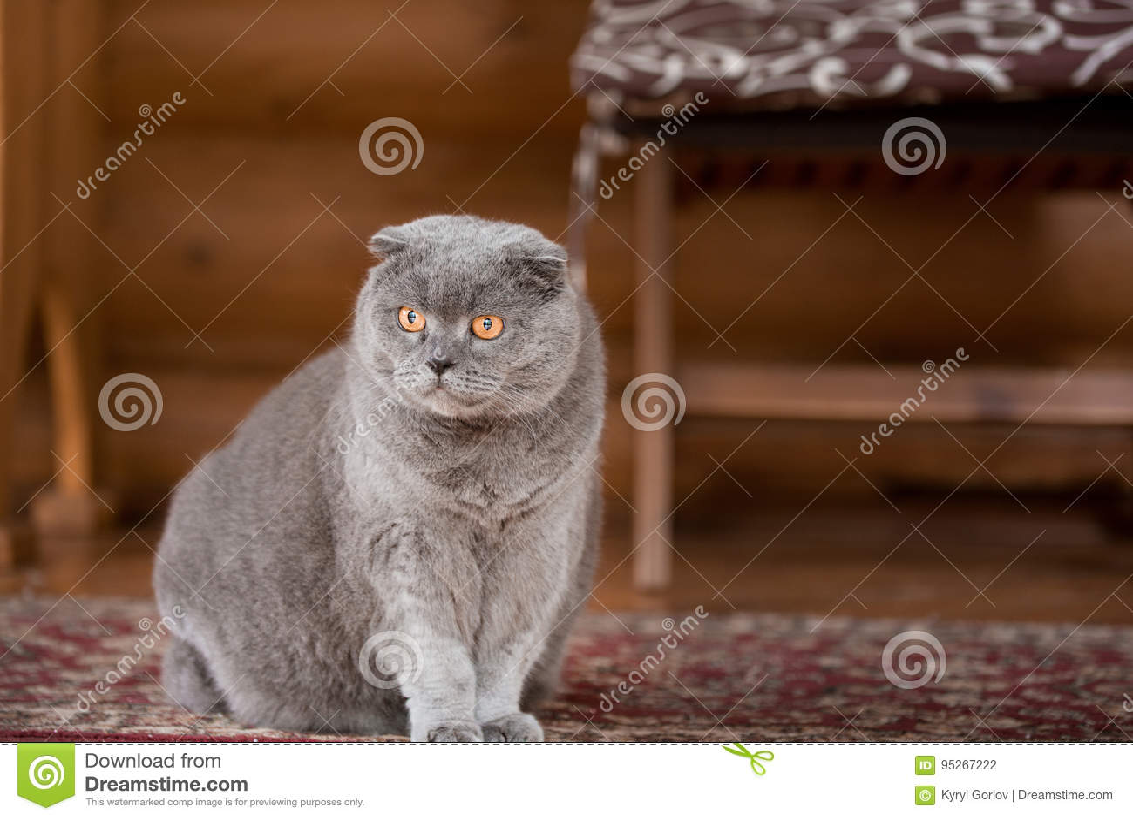 Σοβαρή και σκεπτική μπλε σκωτσέζικη συνεδρίαση γατών πτυχών σε ένα μέρος ενός σπιτιού και του κοιτάγματος κάπου