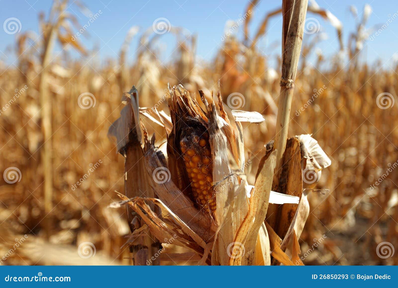 Σπάδικας καλαμποκιού και ξηρασία