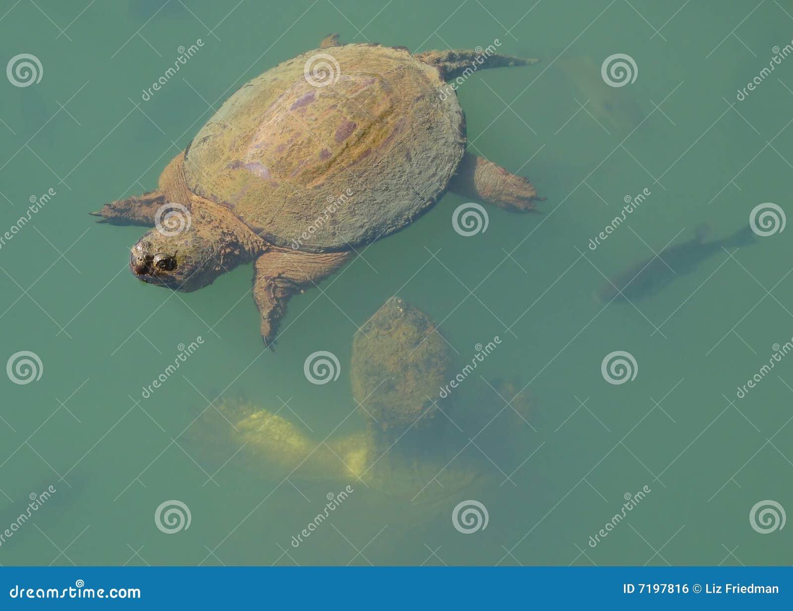 σπάζοντας απότομα χελώνε&sig