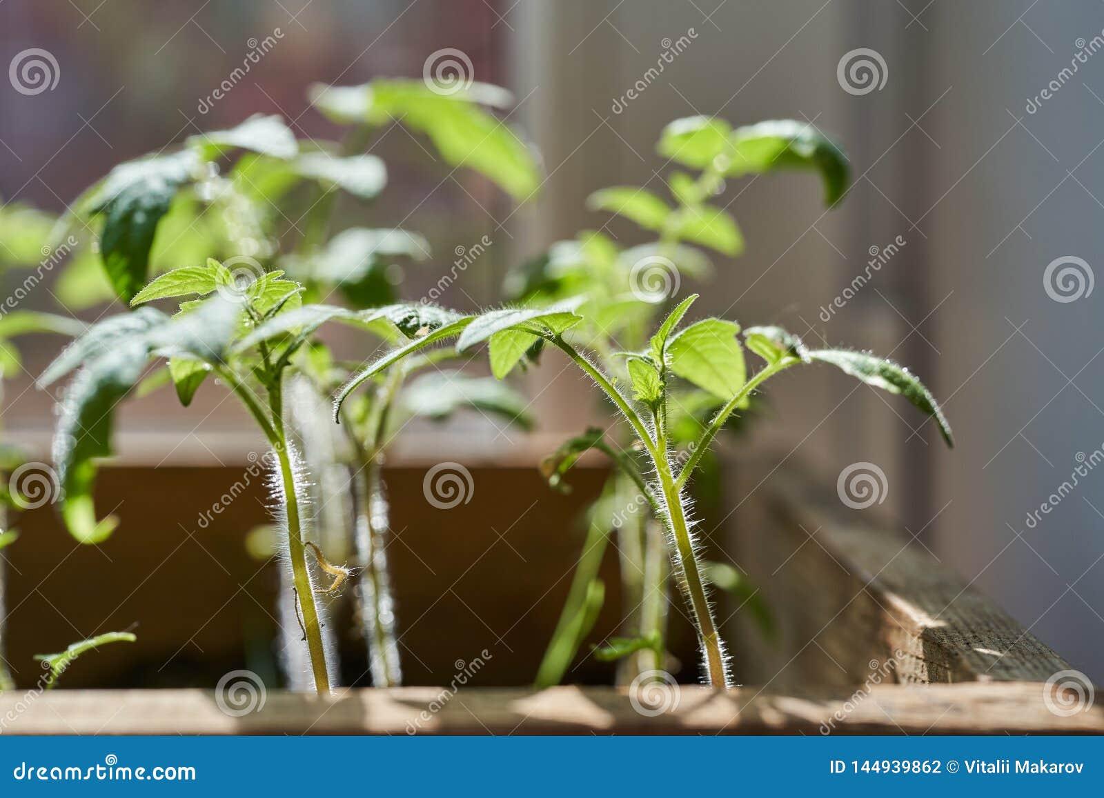 Σπορόφυτα των νέων ντοματών σε ένα κιβώτιο