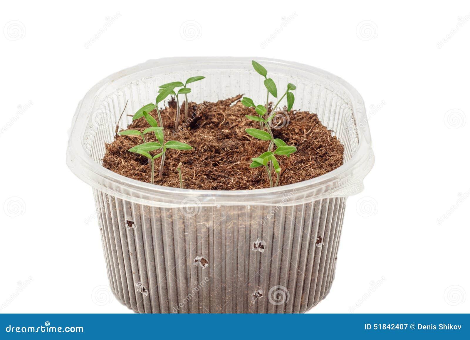 Σπορόφυτα των ντοματών στο κιβώτιο