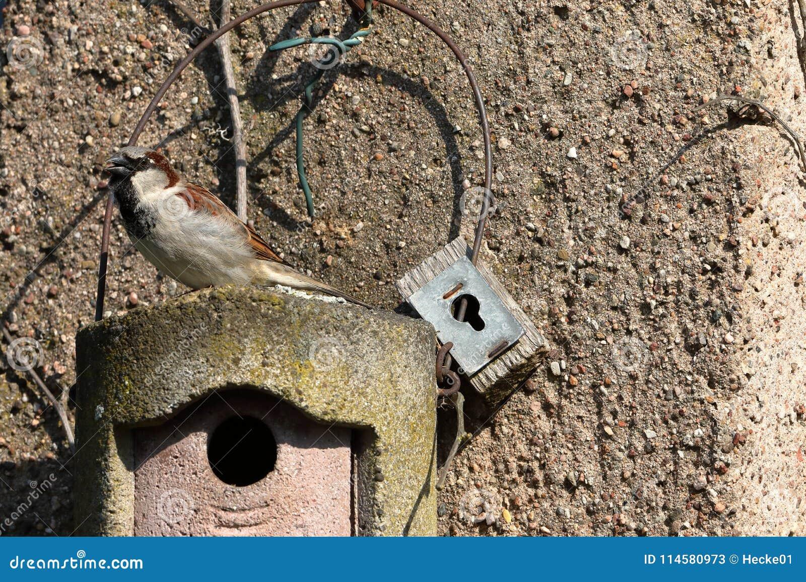 Σπουργίτι σε μια να τοποθετηθεί τρύπα στην ερωτοτροπία