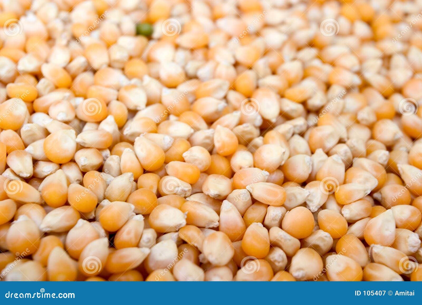 σπόροι καλαμποκιού