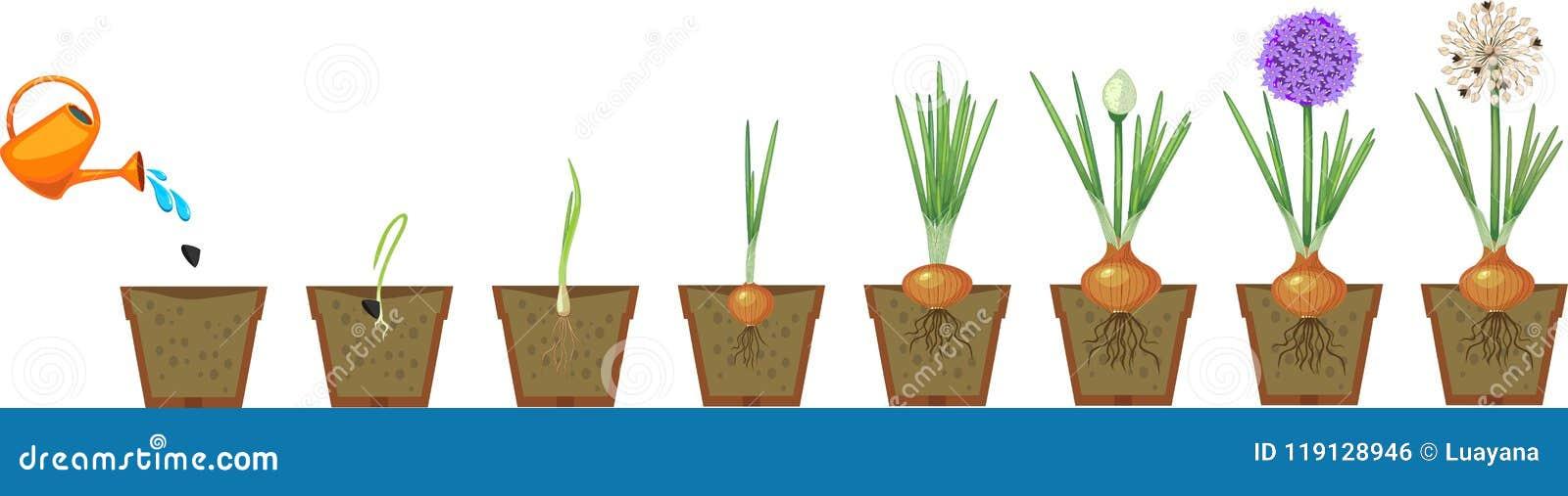 Στάδια αύξησης κρεμμυδιών από τη σπορά στο άνθισμα και το fruit-bearing φυτό