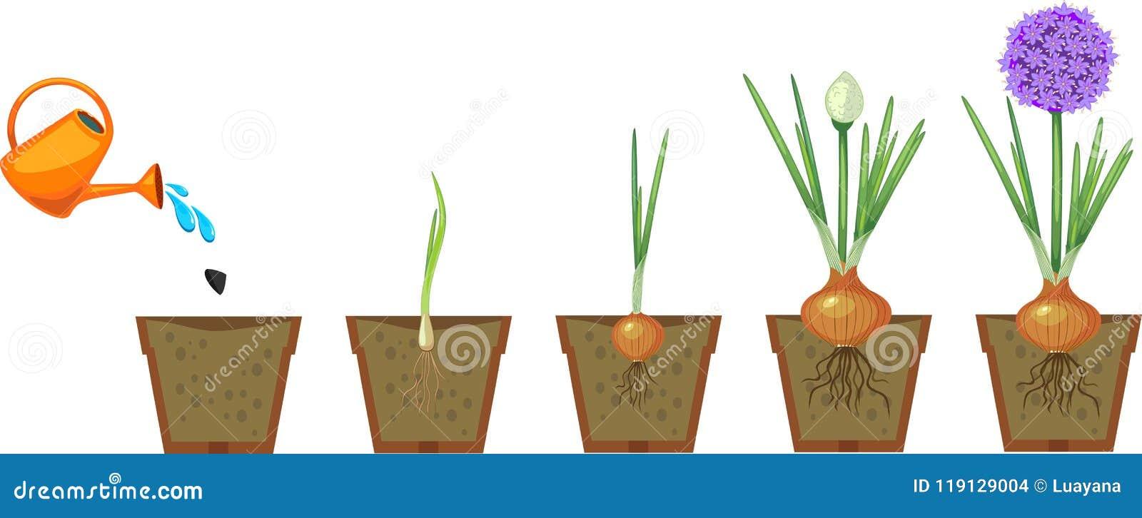Στάδια της αύξησης κρεμμυδιών από το φυτό στο άνθισμα