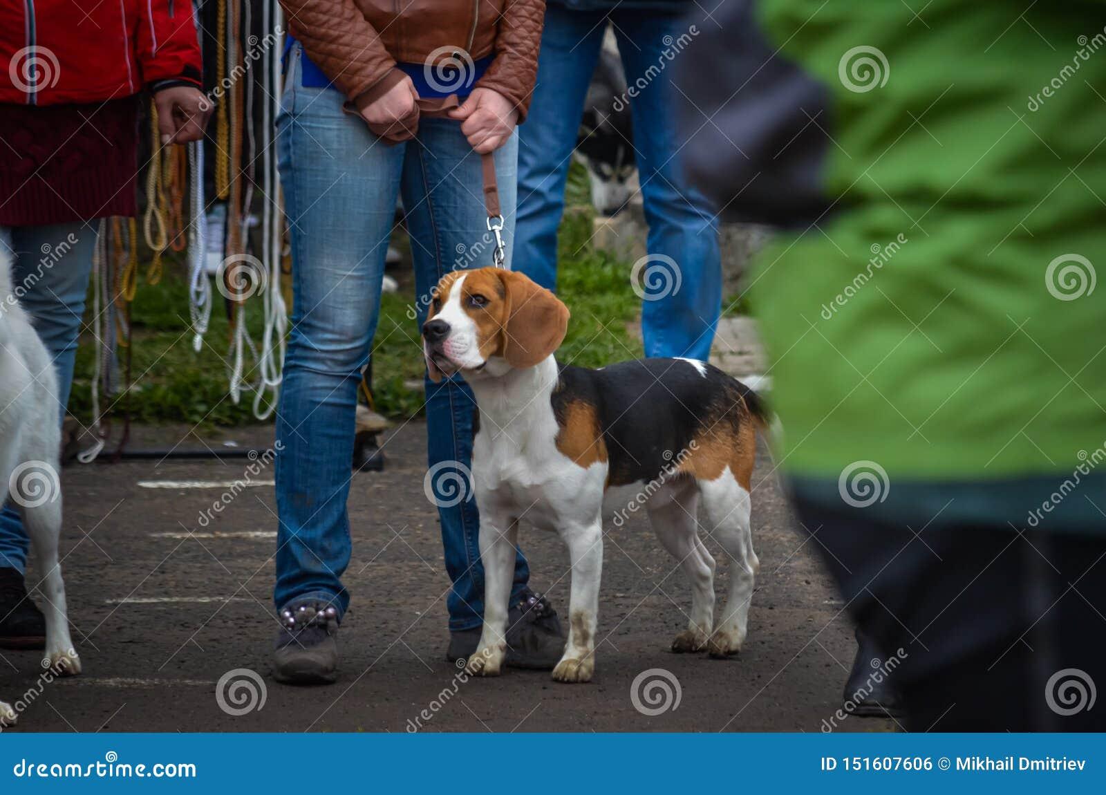 Στάσεις οι όμορφες λαγωνικών σε ένα λουρί δίπλα στον ιδιοκτήτη της σε μια γενική γραμμή σε ένα σκυλί παρουσιάζουν Πυροβολισμός σε