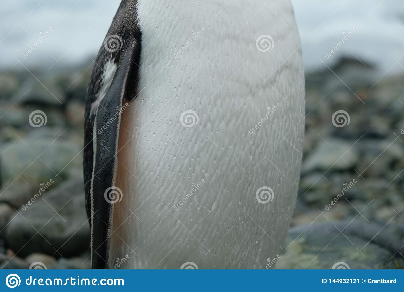 Στάσεις της Ανταρκτικής Gentoo penguin στη δύσκολη παραλία με τις πτώσεις νε