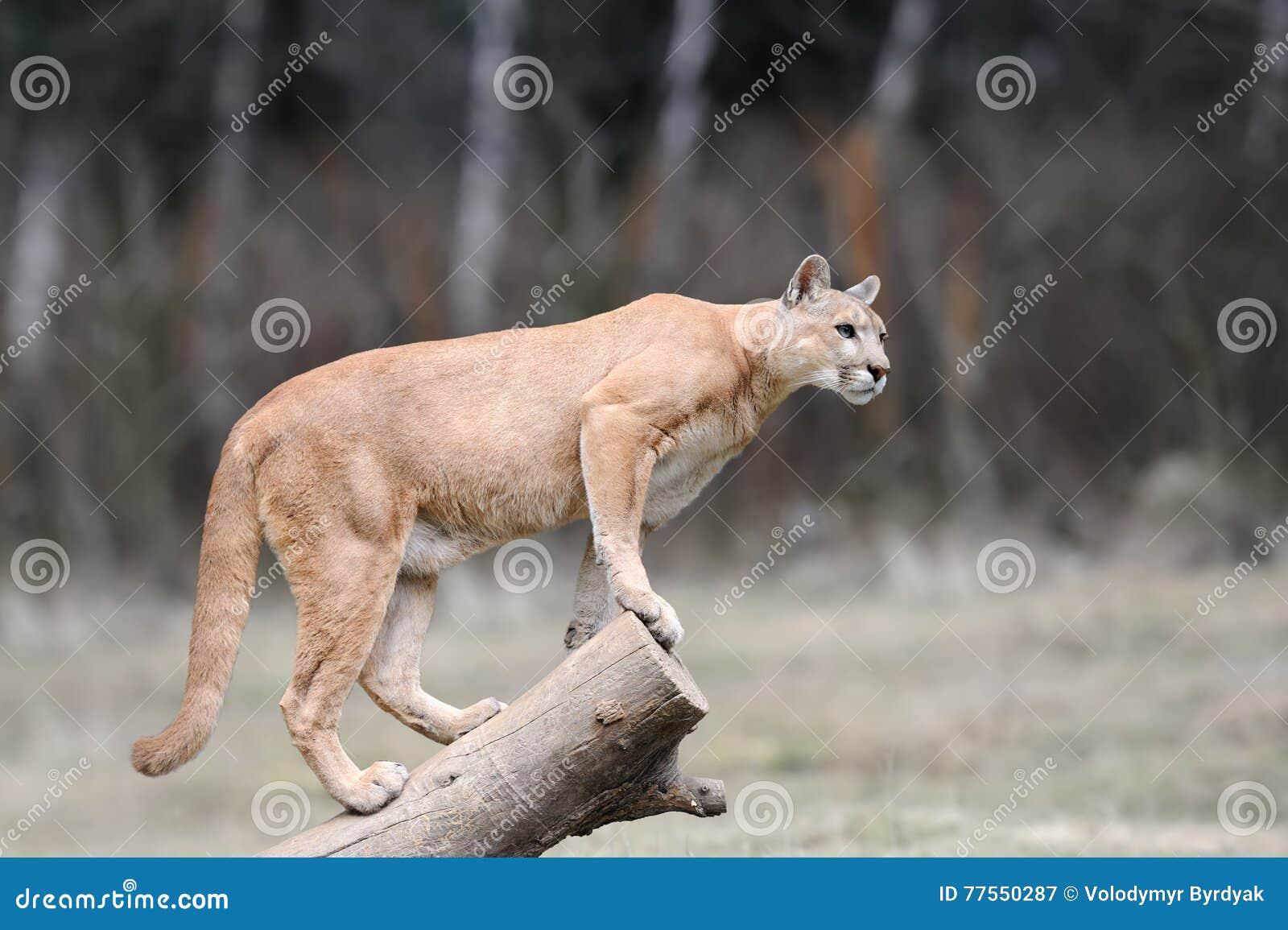 Στάσεις Puma σε ένα δέντρο