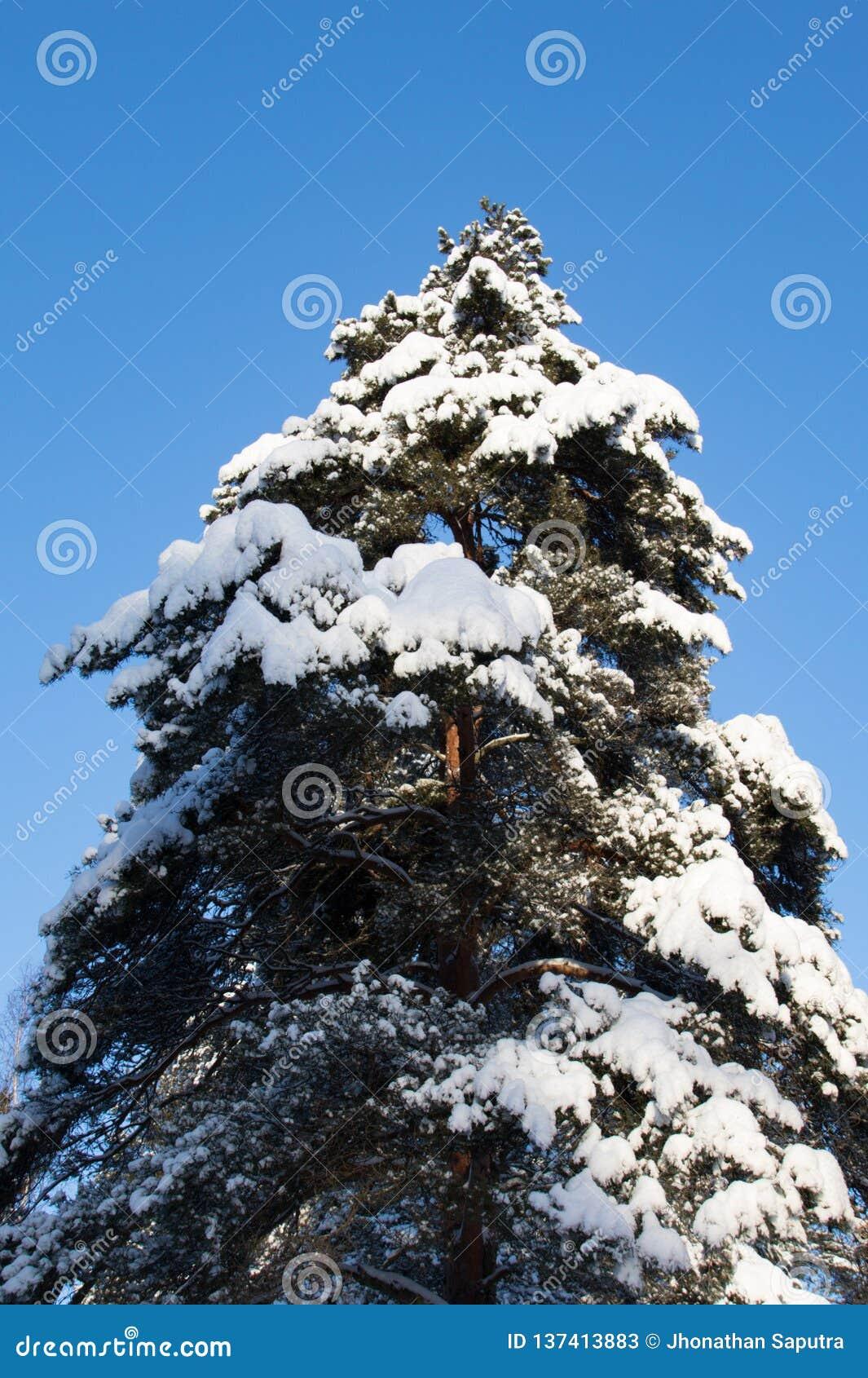 Στάση ψηλή όπως ένα δέντρο πεύκων