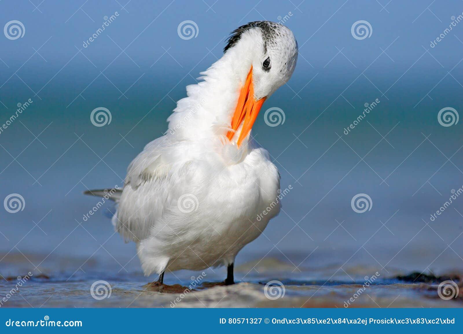Μεγάλο πουλί μαύροι νέγροι