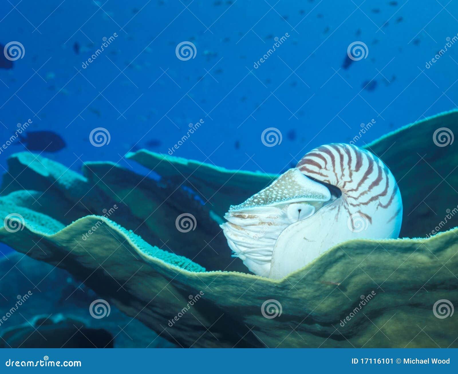 στήριξη nautilus κοραλλιών