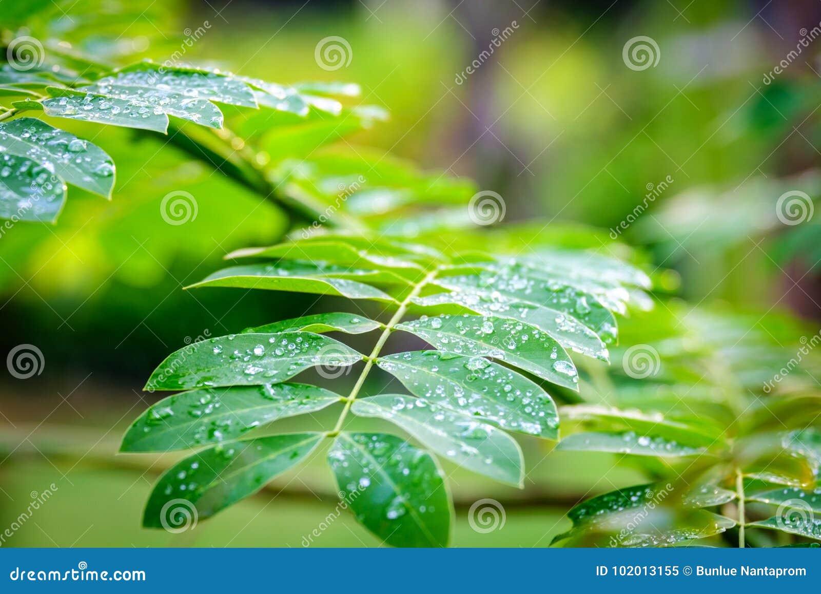Σταγονίδια δροσιάς στα πράσινα φύλλα, πτώσεις νερού μετά από το πράσινο φύλλο βροχής