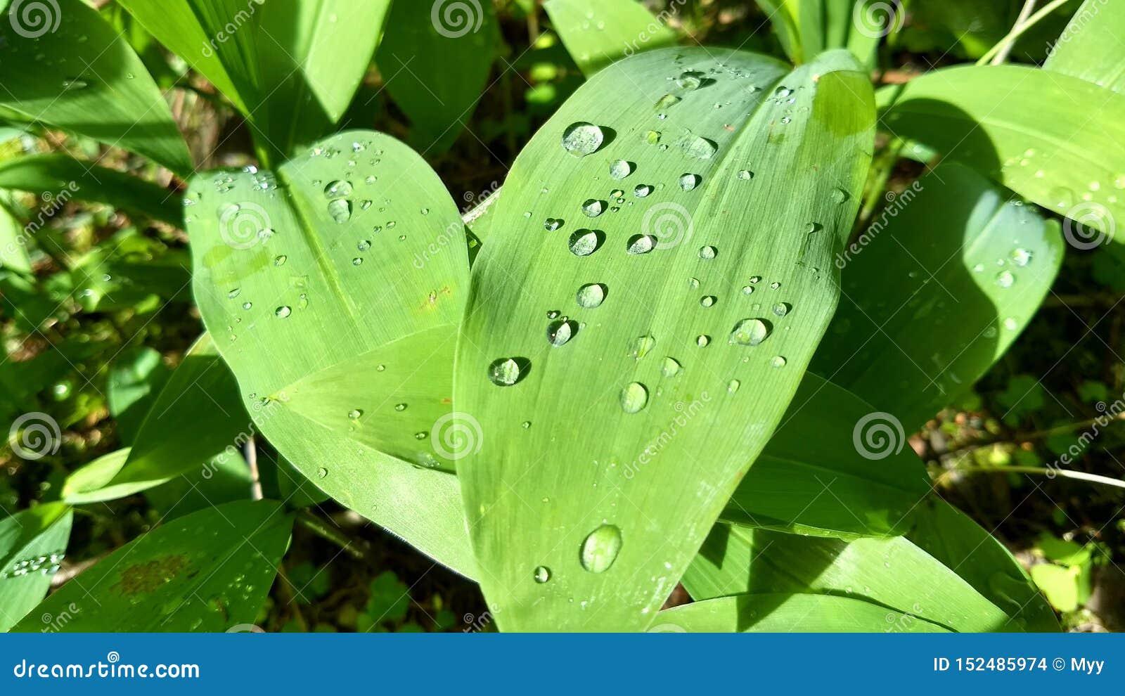 Σταγόνες βροχής σε ένα φύλλο του κρίνου της κοιλάδας