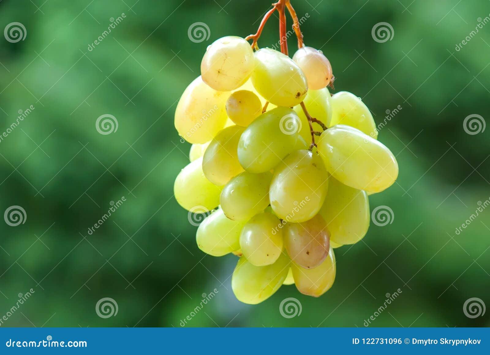 Σταφύλια κρασιού στην άμπελο Ηλιόλουστος αμπελώνας στο υπόβαθρο