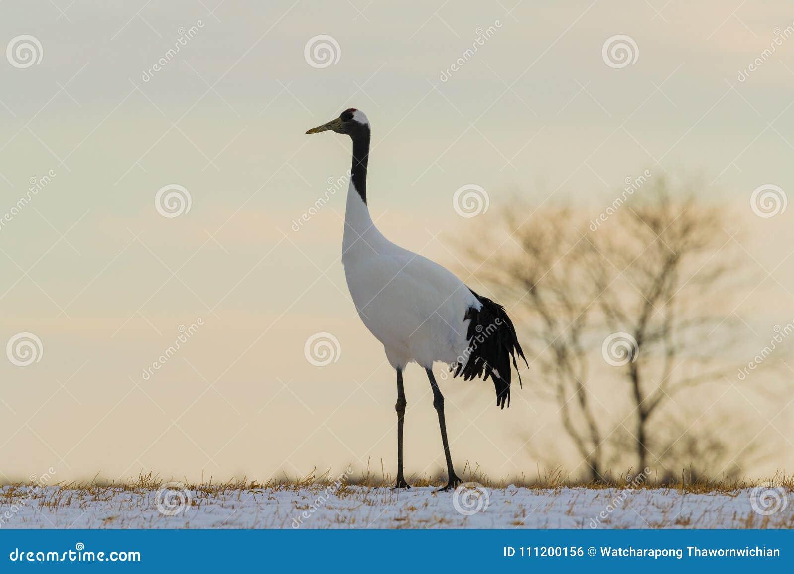 Μεγάλο πουλί Ιαπωνικά