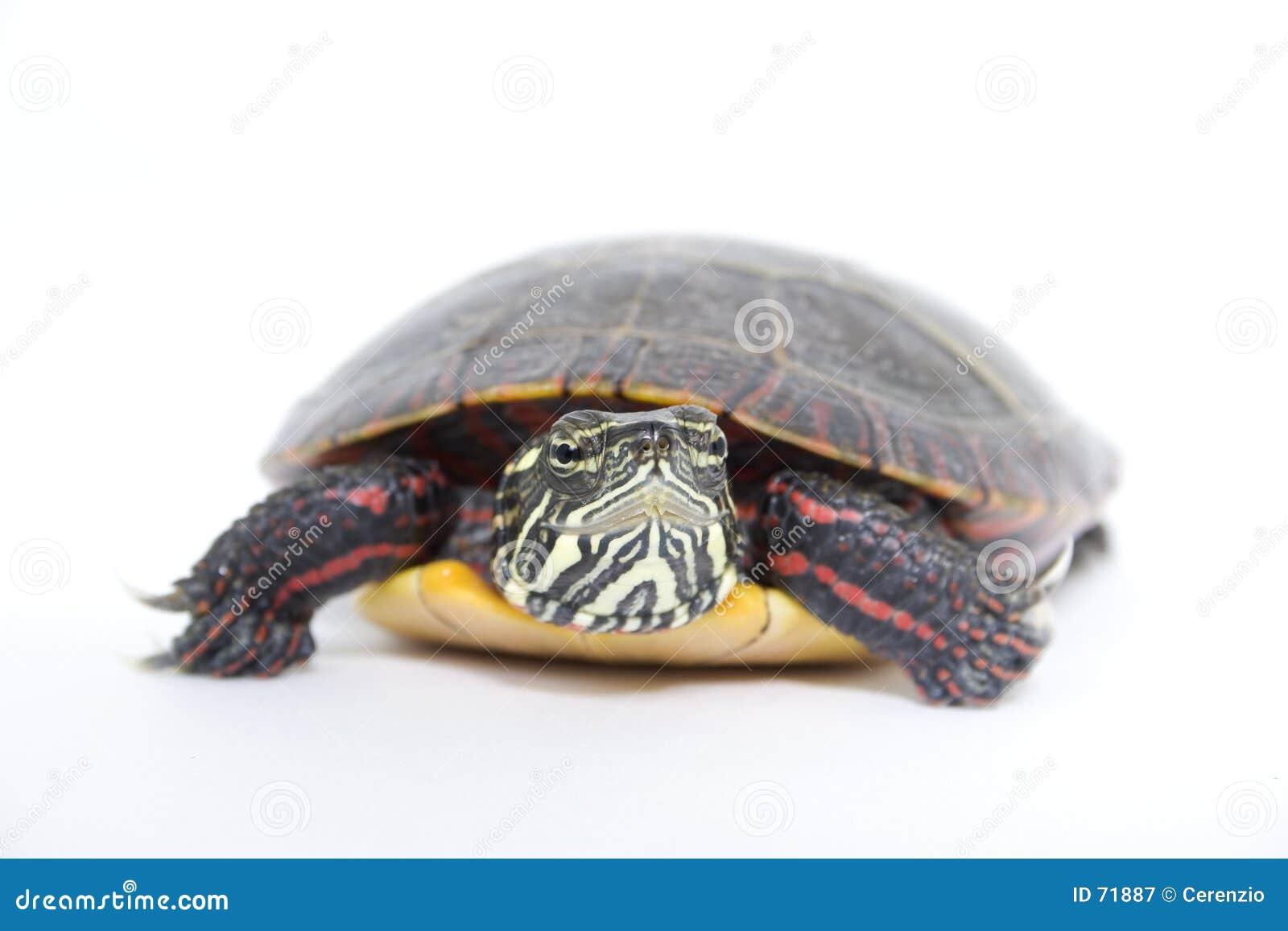 στενή χελώνα επάνω στο ύδωρ