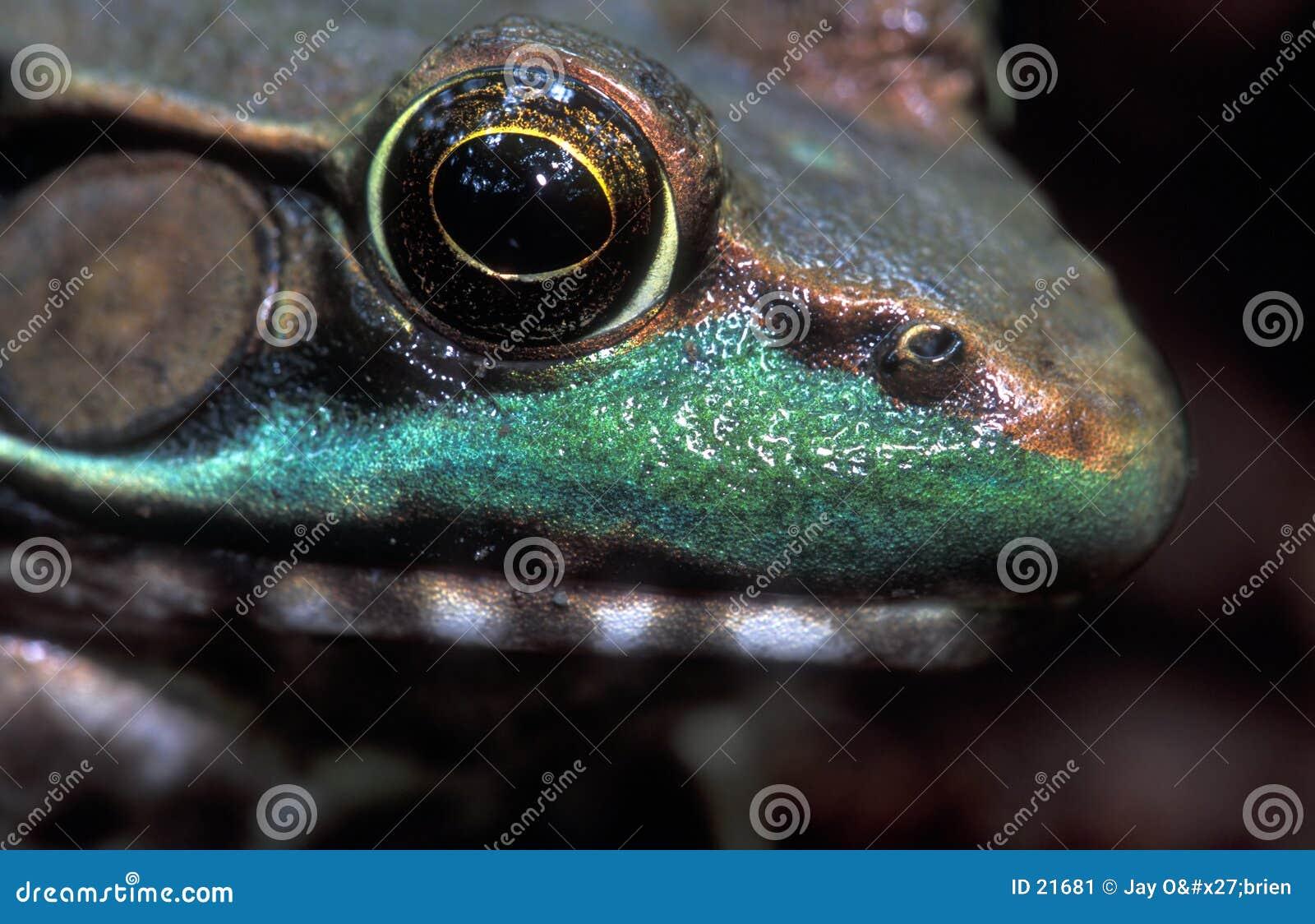 στενός βάτραχος επάνω