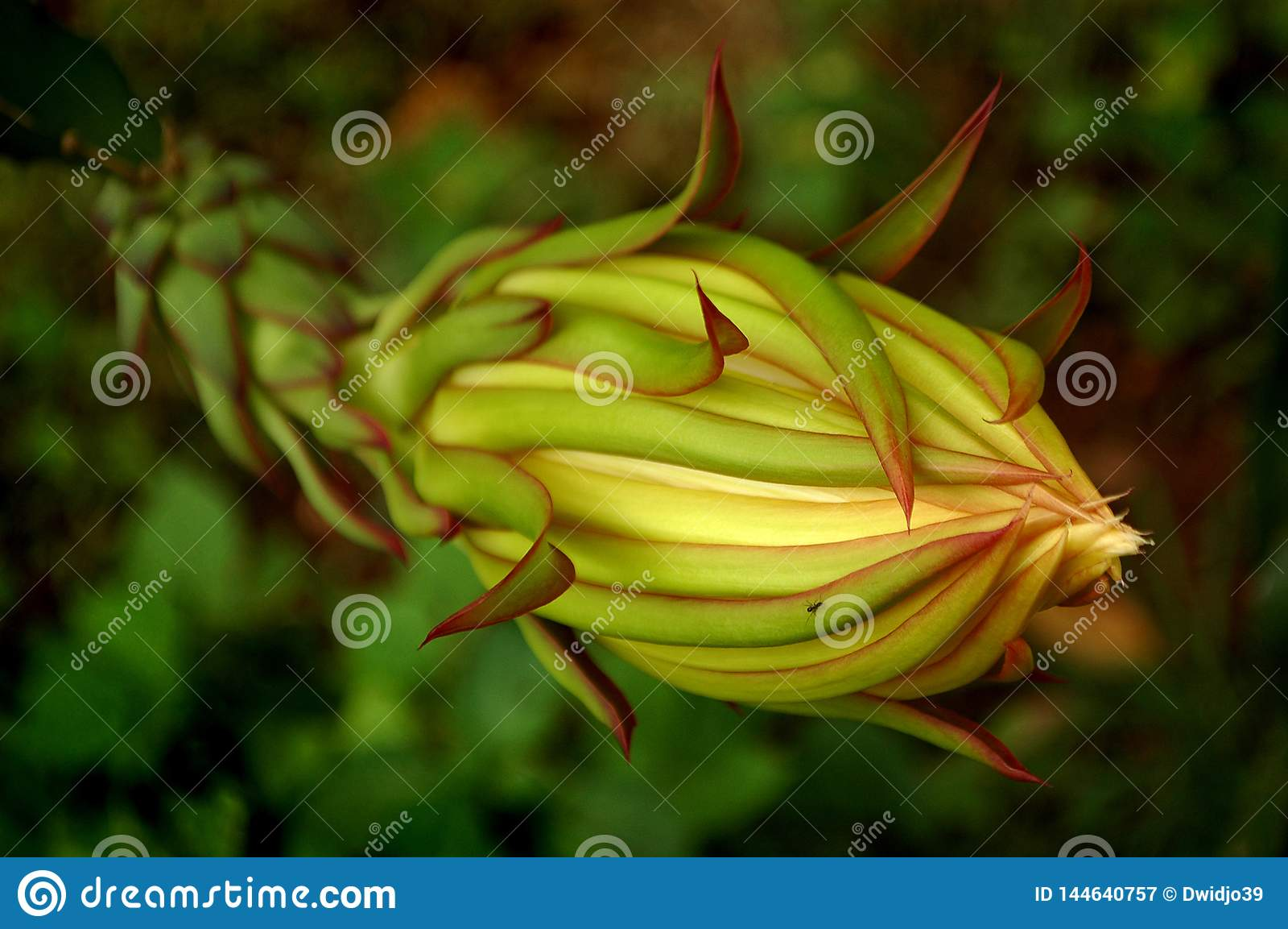 Στενός επάνω λουλουδιών φρούτων δράκων