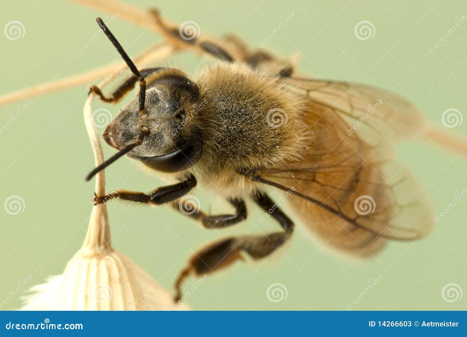 στενός επάνω μελισσών