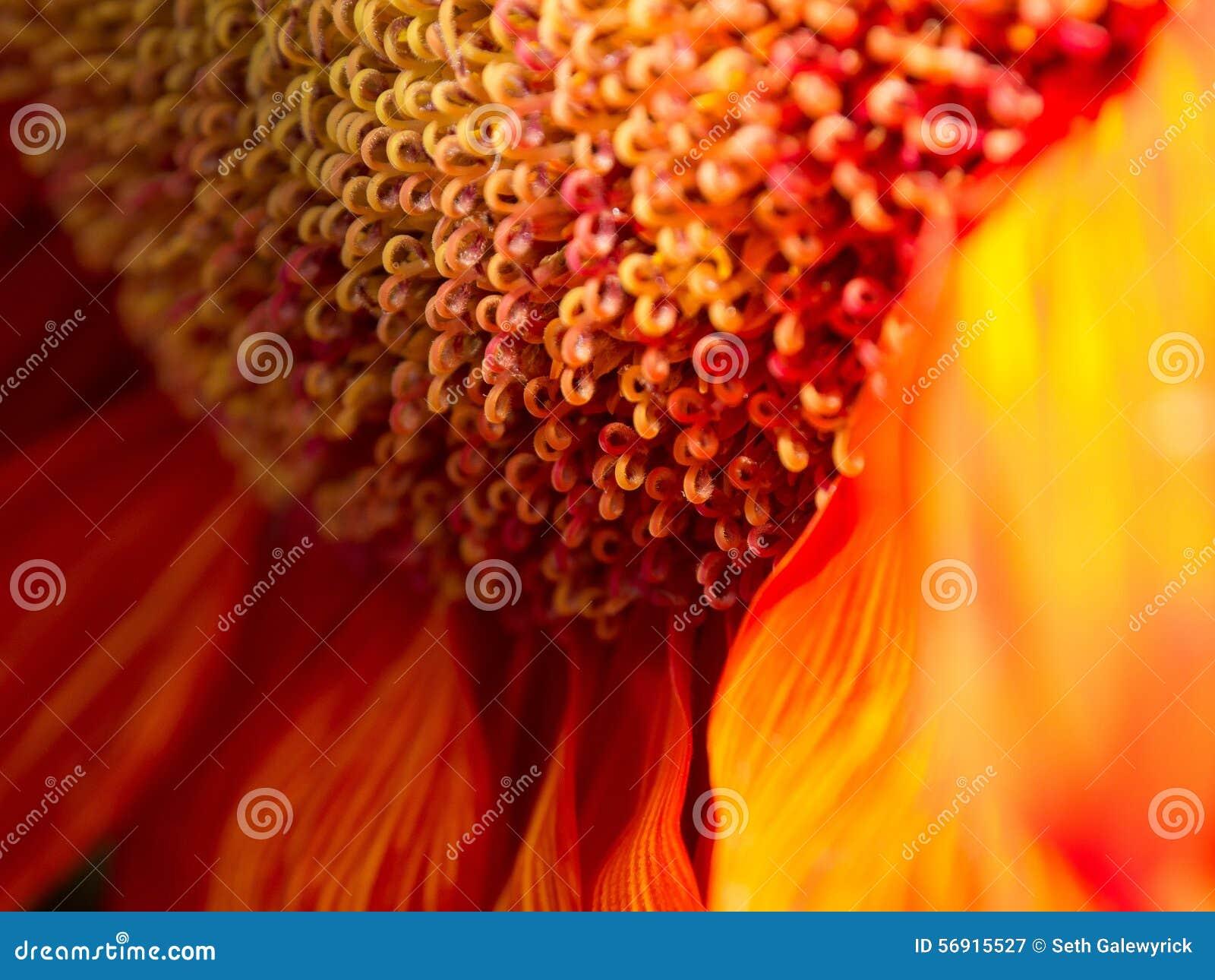 Στενός επάνω λουλουδιών πυρκαγιάς