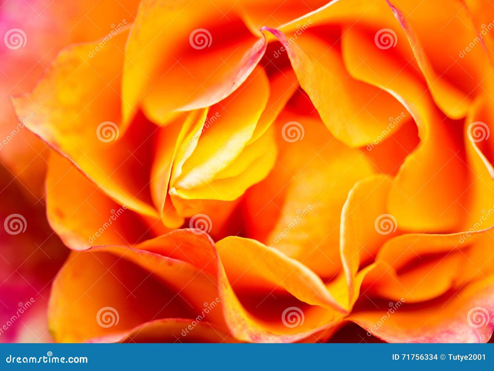 στενός πορτοκαλής αυξήθηκε επάνω Υπόβαθρο