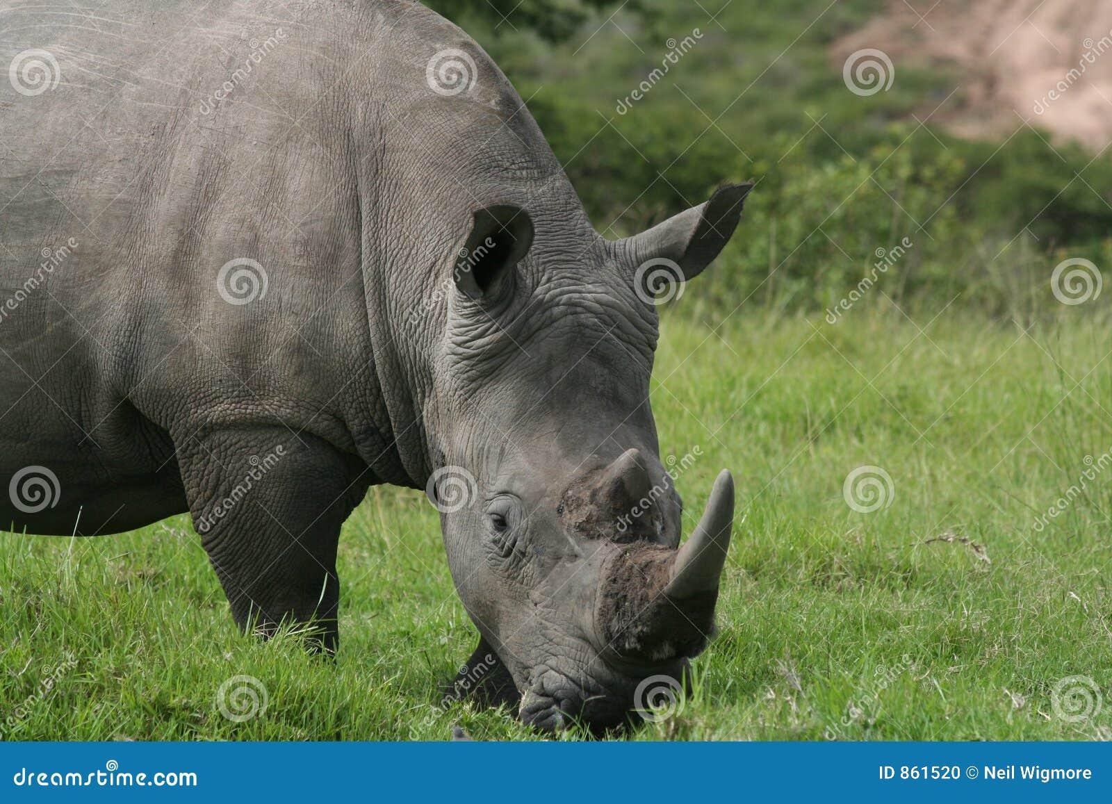 στενός ρινόκερος επάνω