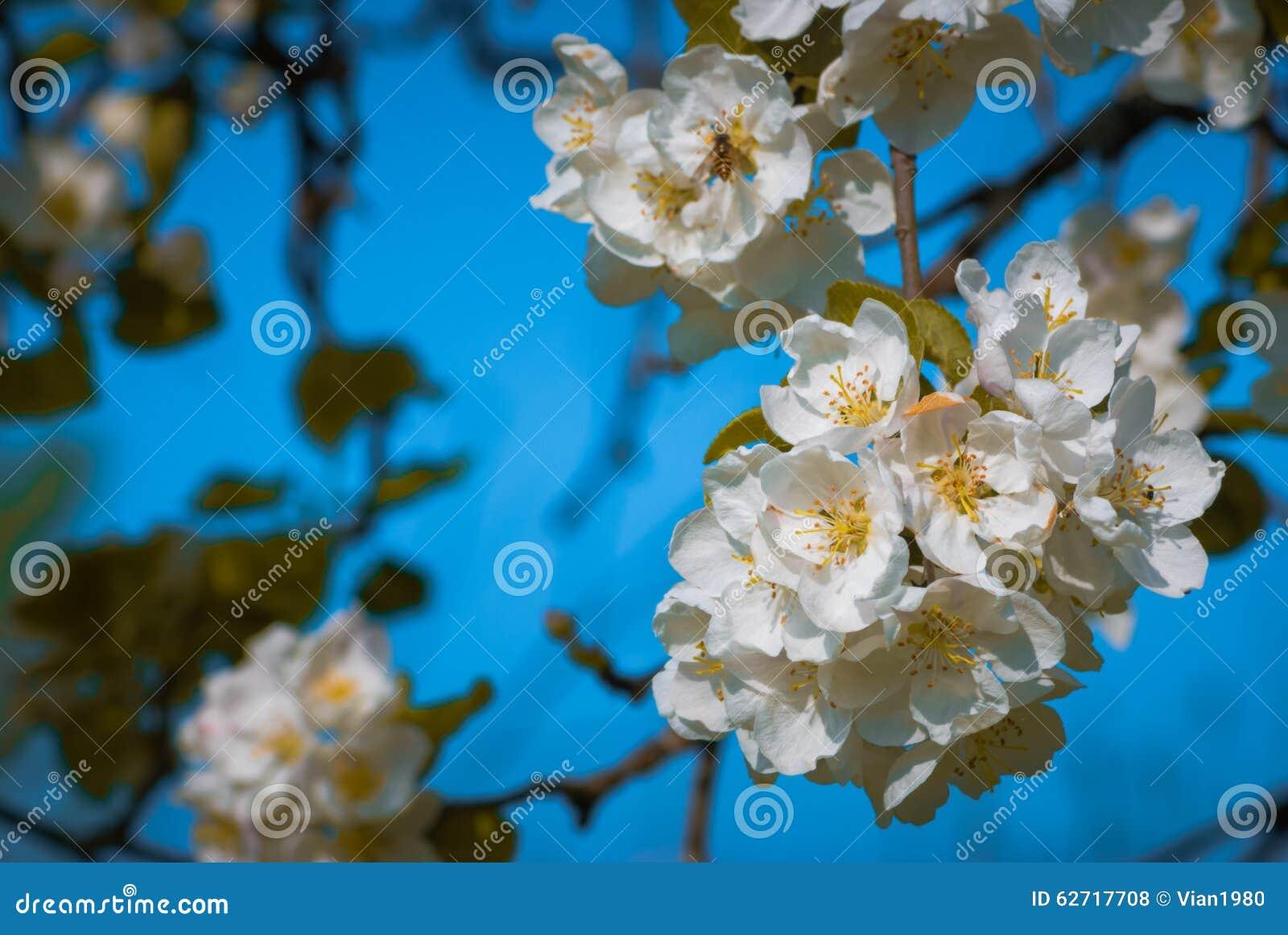 στενό δέντρο λουλουδιών ανθών μήλων επάνω