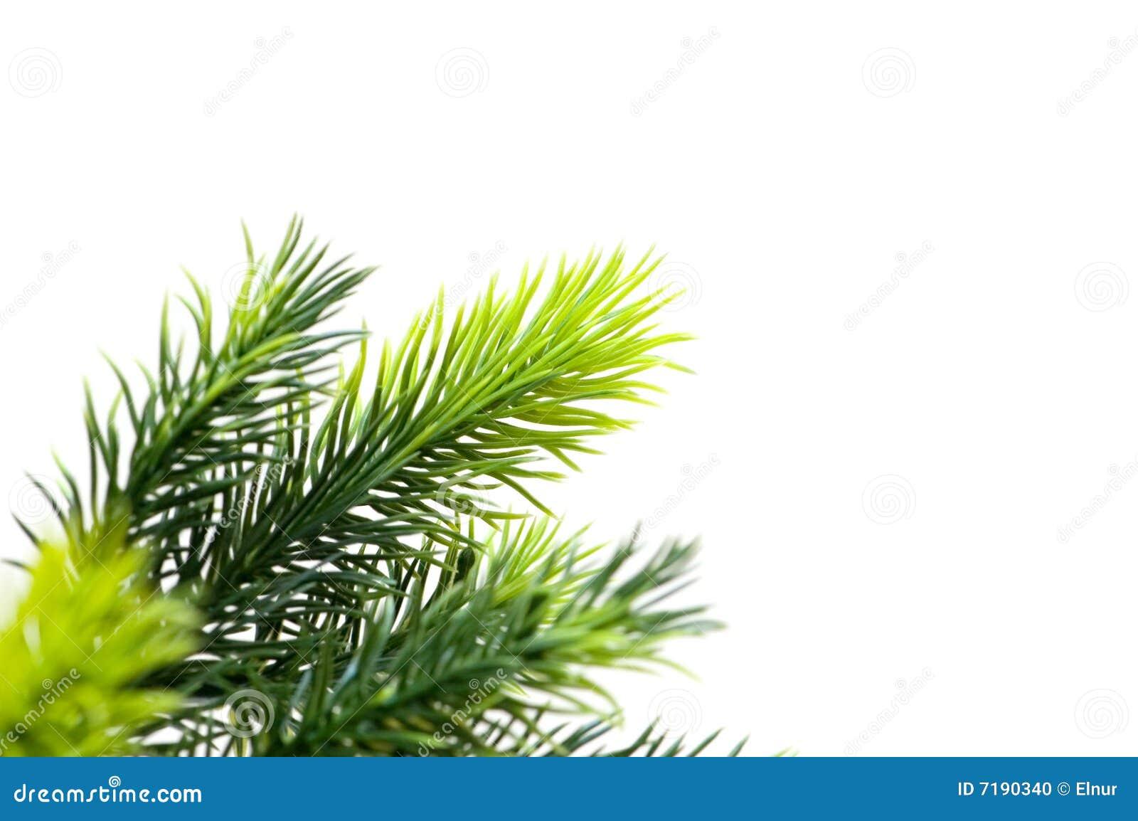 στενό δέντρο έλατου επάνω