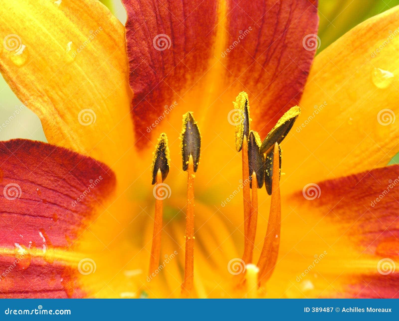 στενό κόκκινο λουλουδ&i