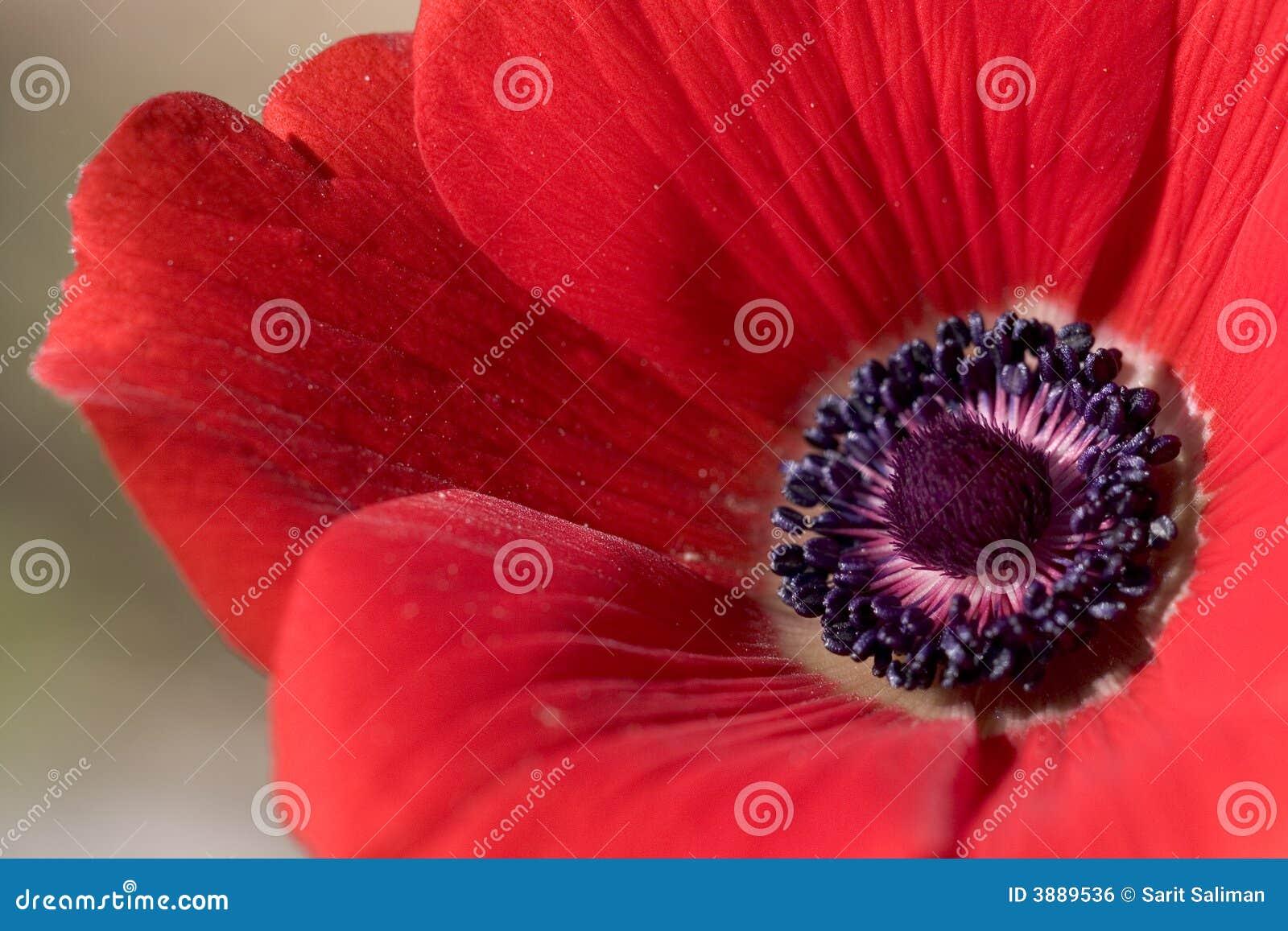 στενό κόκκινο anemone επάνω