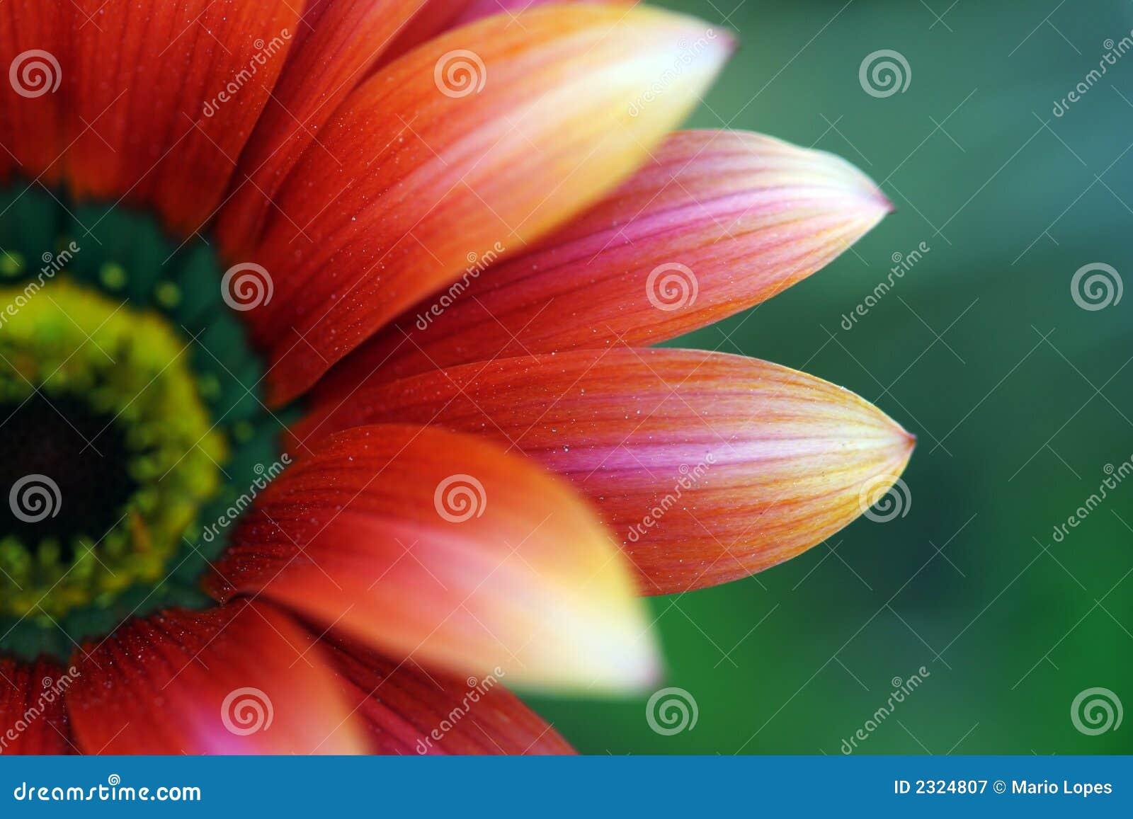 στενό λουλούδι επάνω