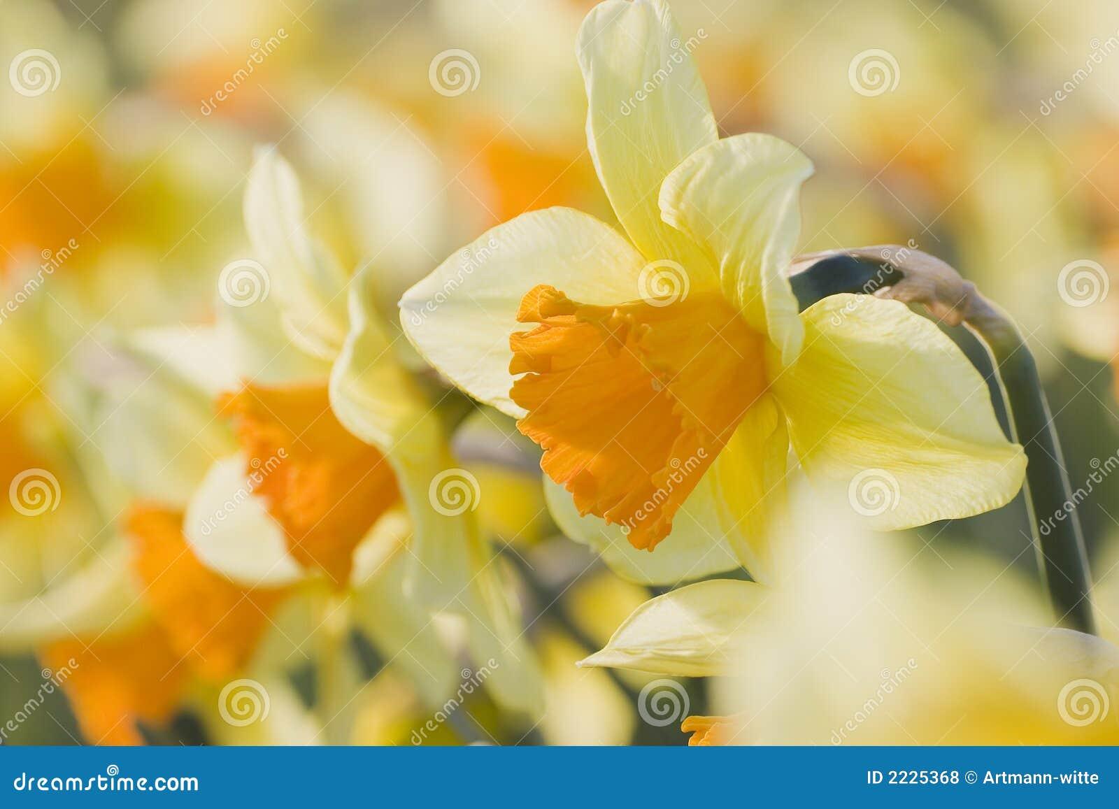 στενό πορτοκάλι daffodils επάνω