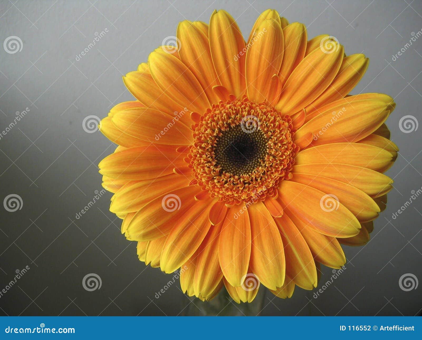 στενό πορτοκάλι gerbera λουλουδιών επάνω κίτρινο
