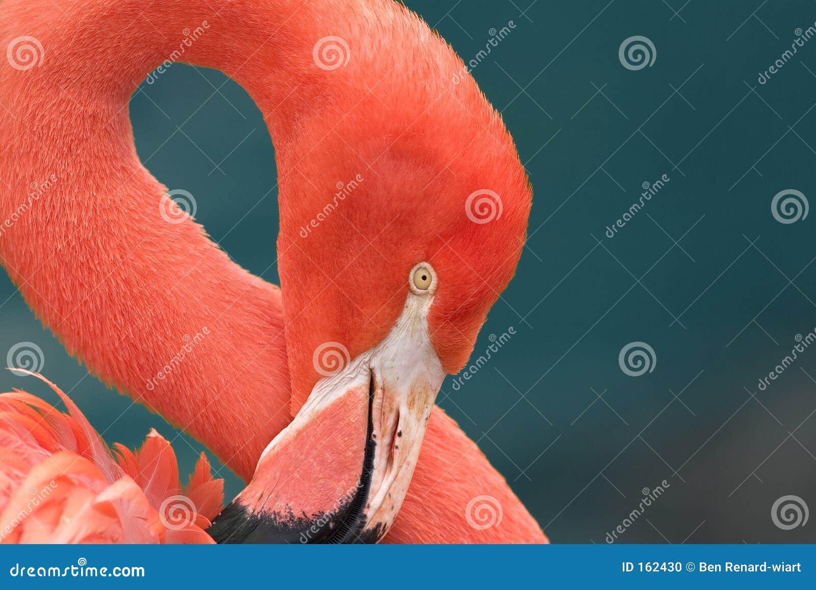 στενό ροζ φλαμίγκο επάνω